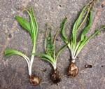 Scilla hyacinthina (Roth) J. F. Macbr