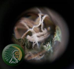 Mikroskopische Ansicht: Phosphor und Kalium beginnen vom Beginn der Blüte an zu steigen