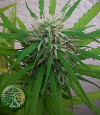 Flowering is the key stage in all cannabis production.