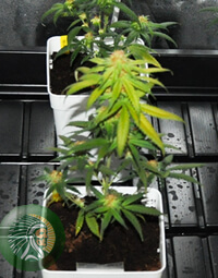 important function of flavonoids is to give color to cannabis flowers.
