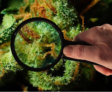 Cannabis Vrikshayurveda para um melhor rendimento
