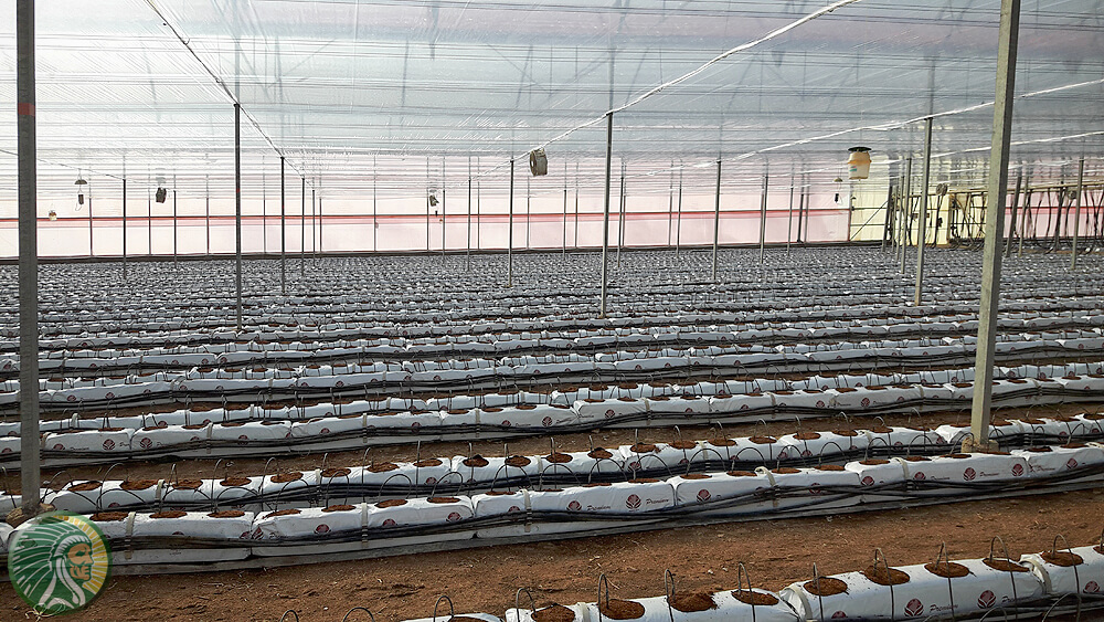 Cultivation in greenhouses on 100% coconut substrate.