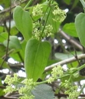 Rubia cordifolia L.