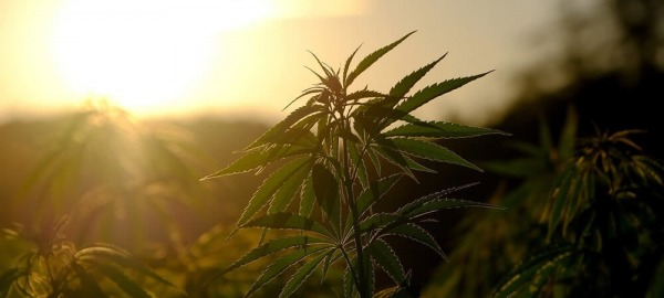 How to prepare outdoor hemp and marijuana fields for growing season
