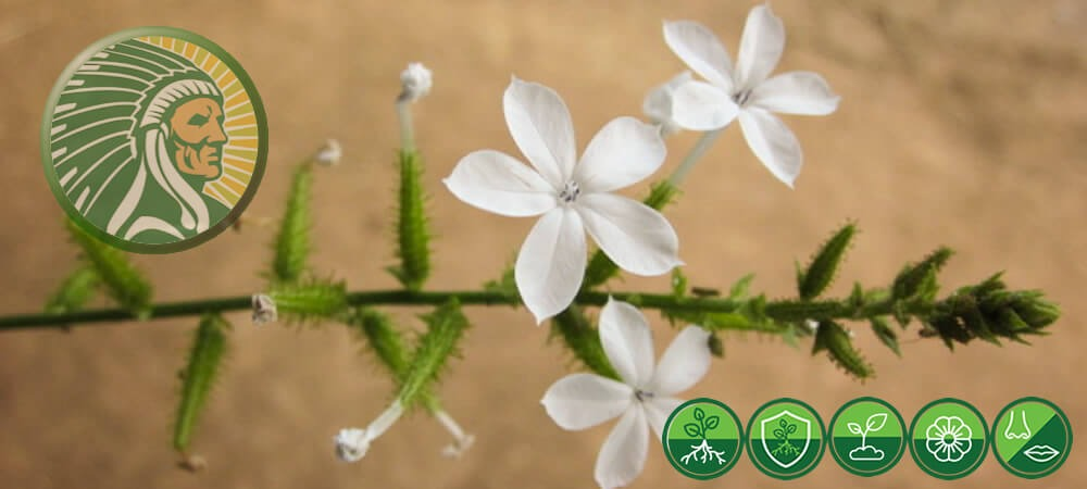 Usage of Plumbago Zeylanica L. in Ancient Ayurveda